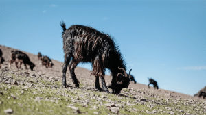 Mount Toubkal trek - goats