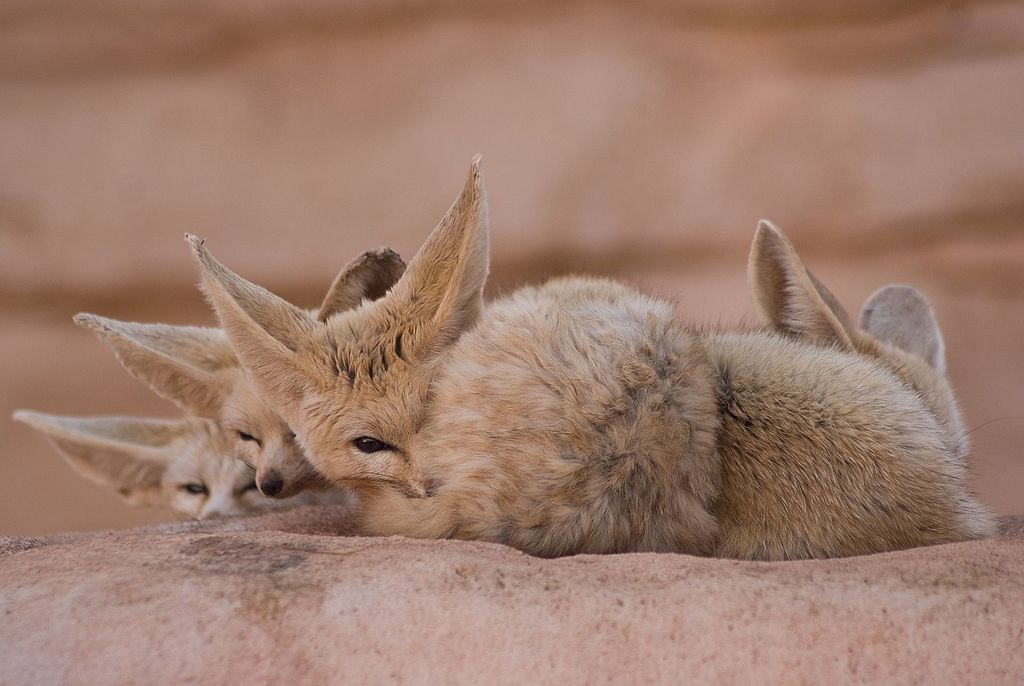 Fennec Fox in the Sahara Desert
