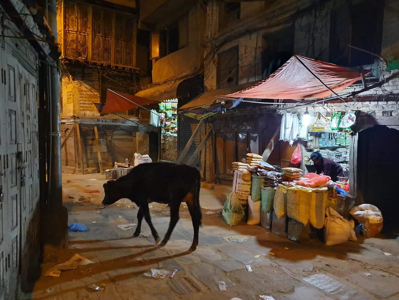 Cow in Nepal trek