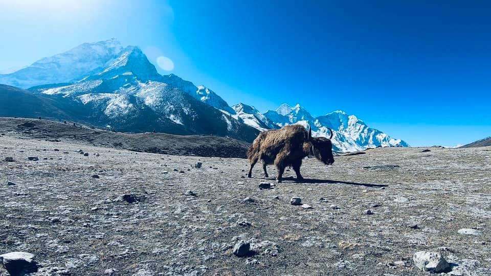 Yak of the day on Everest Base Camp trek