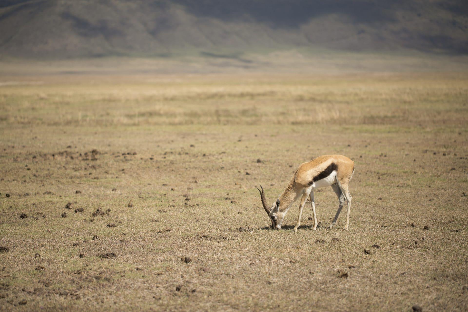 Gazelles on safari trip in Tanzania