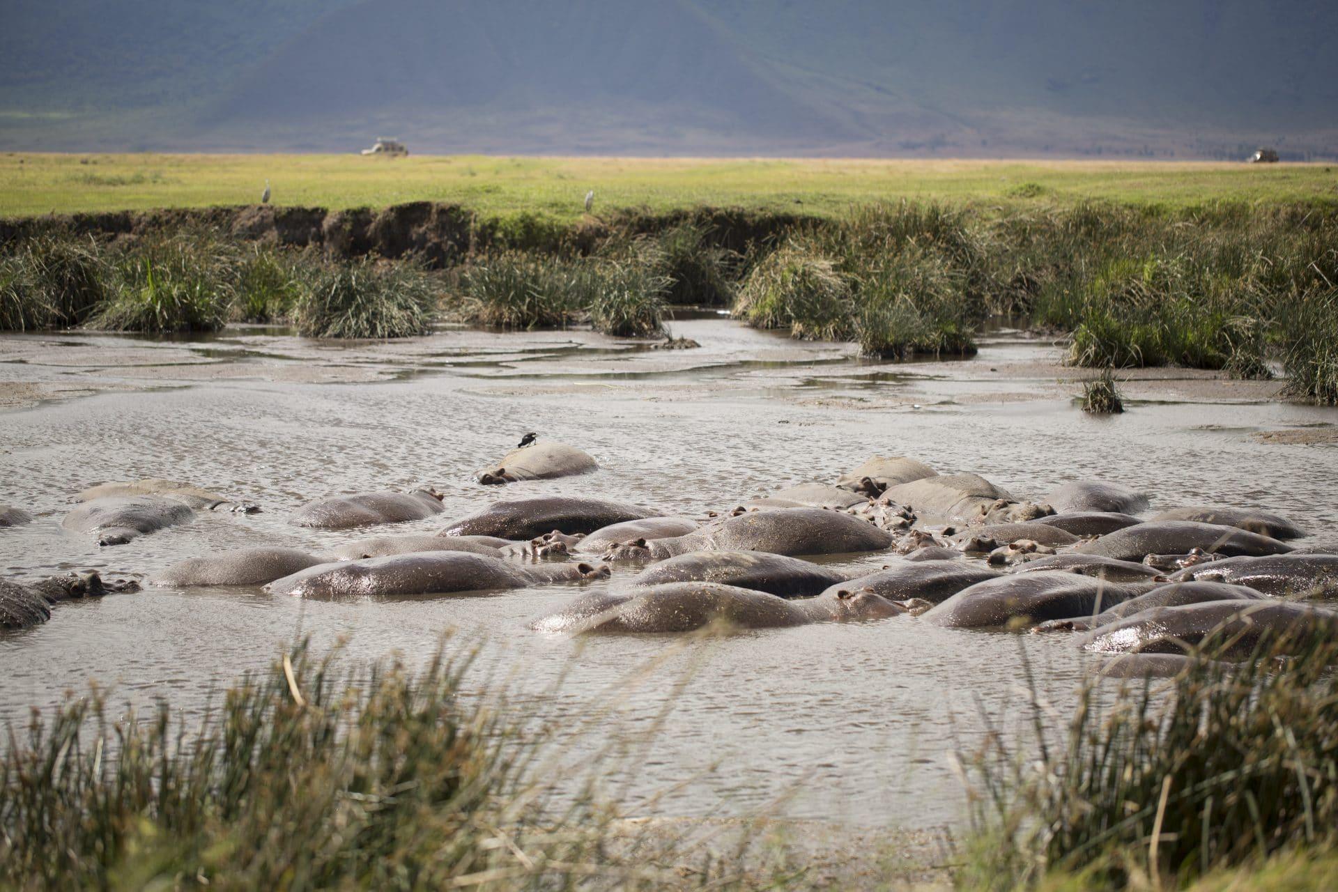 Hippos on safari trip to Tanzania