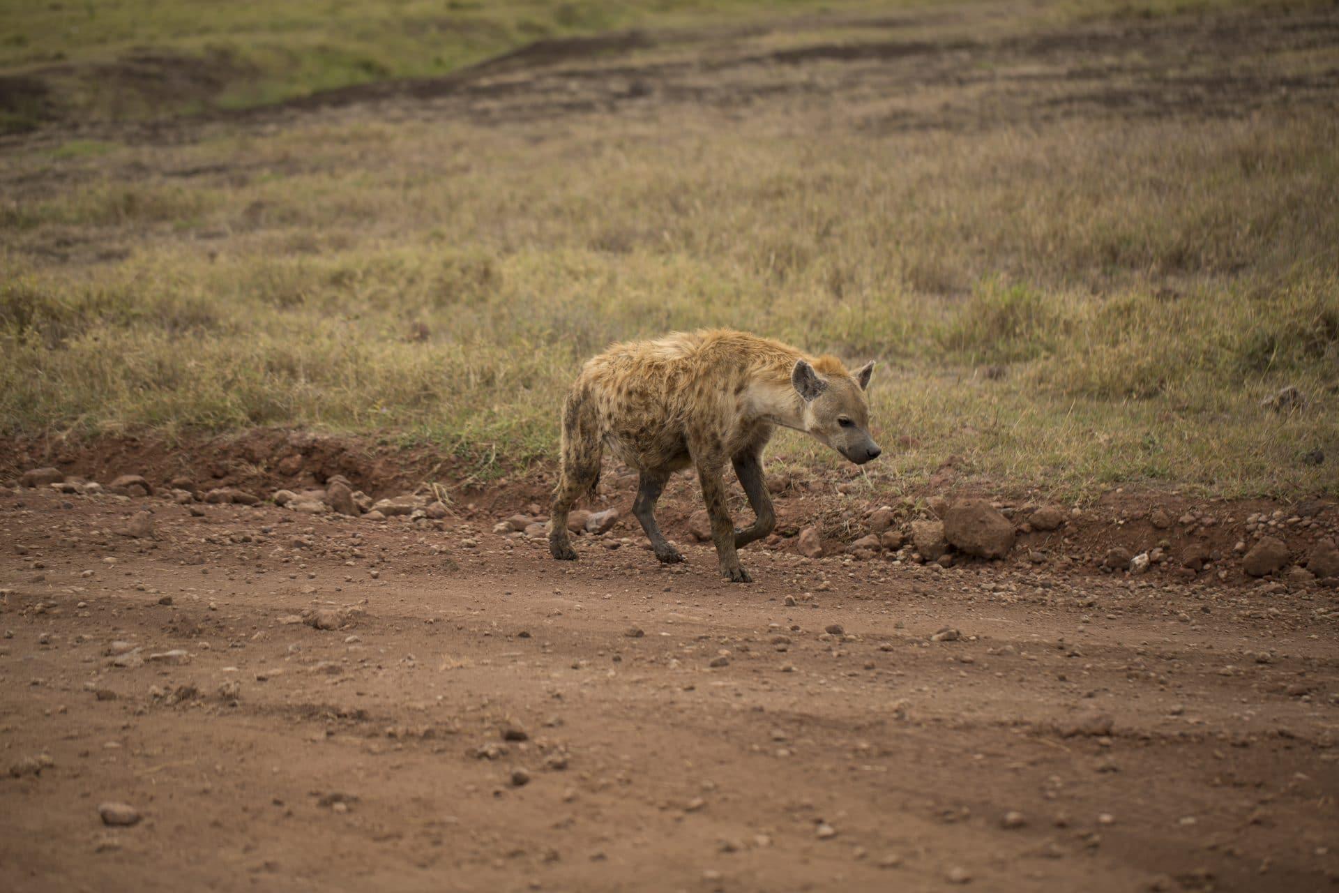 Hyena on safari in Masai Mara