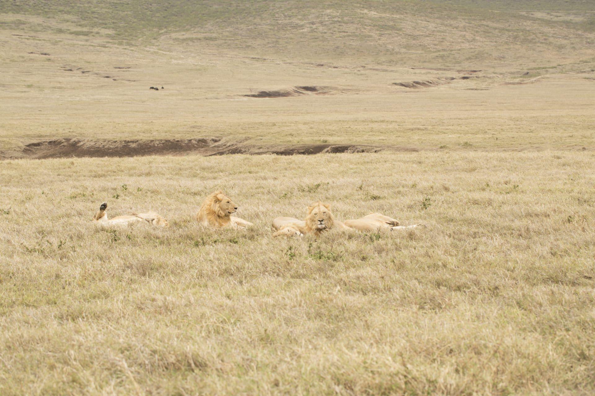 Lions of safari in Tanzania
