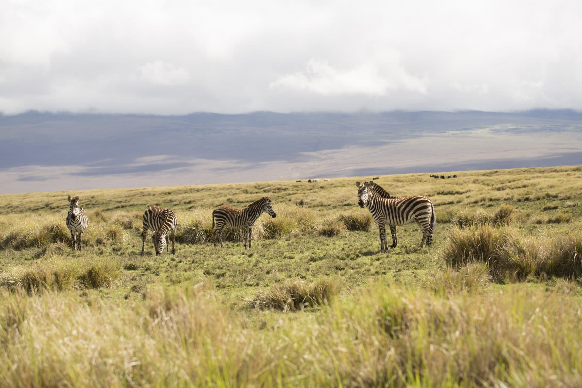 Zebras on Tanzania safari