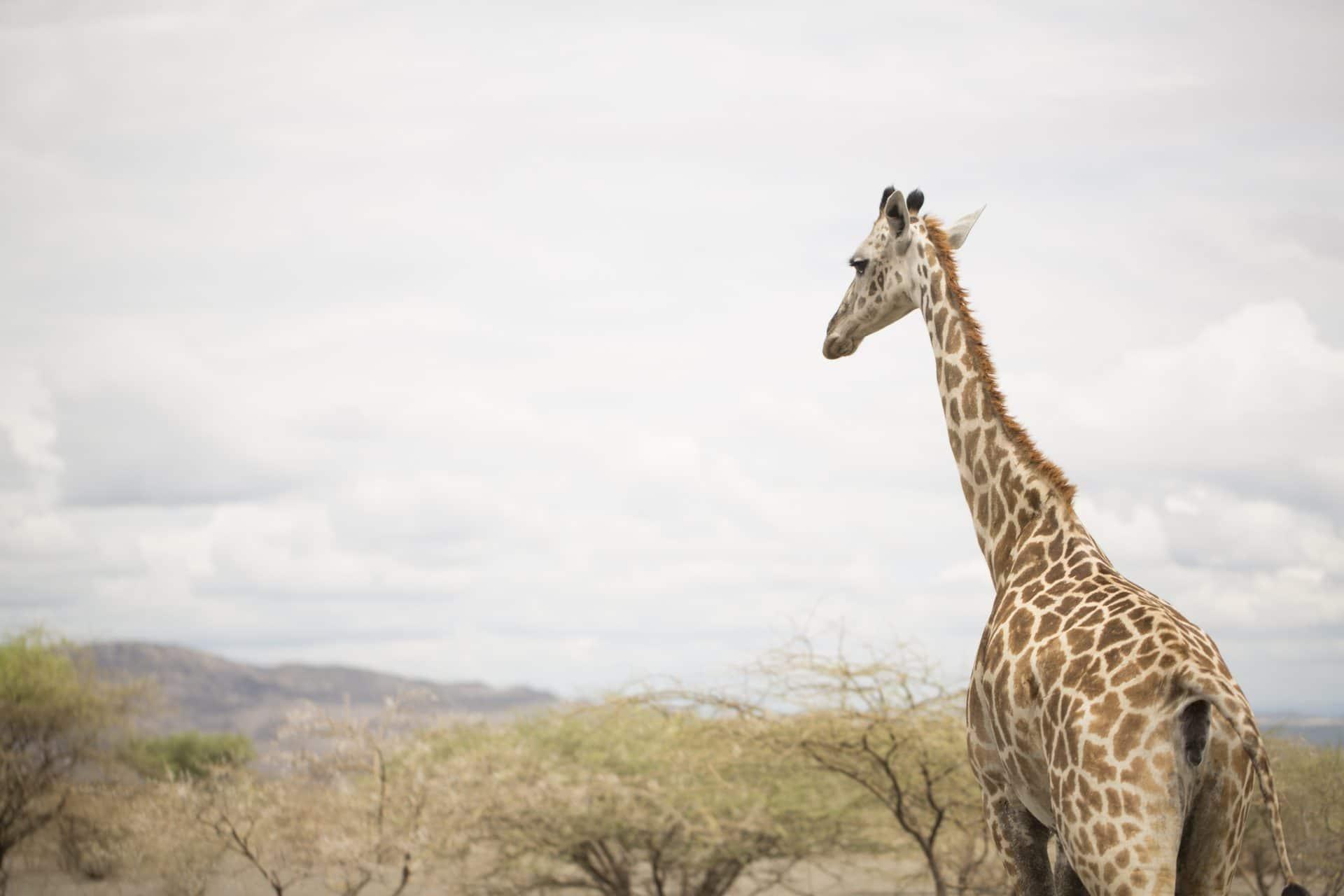 Giraffe seen on safari in Tanzania