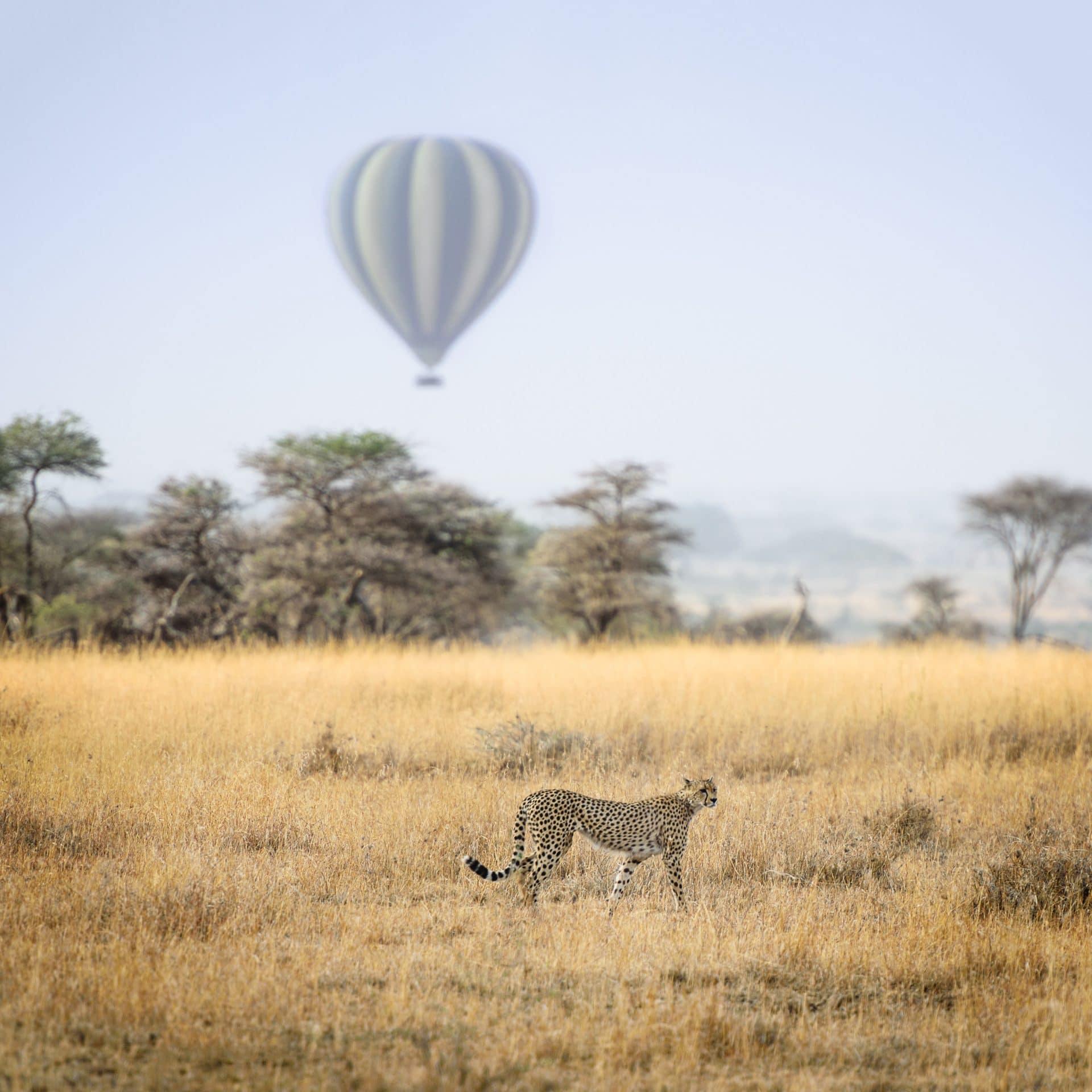 Cheetah seen on Tanzanian safari