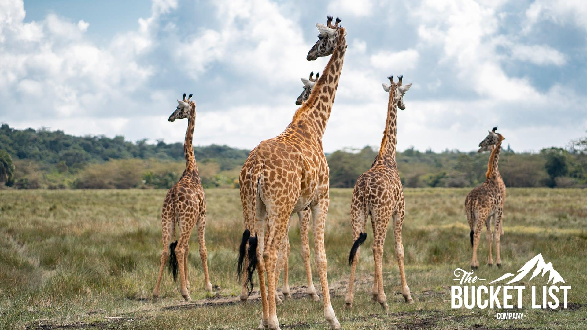 a heard of Giraffes in Tanzania